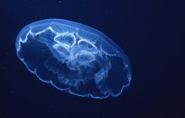 Slide depicting a jellyfish