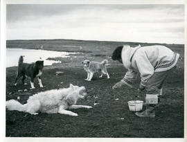 Photograph of a man feeding dogs in Povungnituk, Quebec