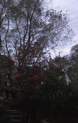 Photograph of trees with red and green leaves