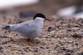 Photograph of an Arctic tern standing near a nest site at Alexandra Fiord, Ellesmere Island