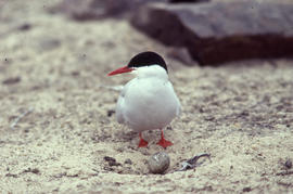 Photograph of an Arctic tern looking at an egg at a nest site at Alexandra Fiord, Ellesmere Island