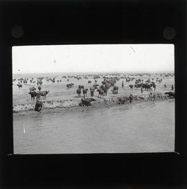Photograph of a herd of cows next to water