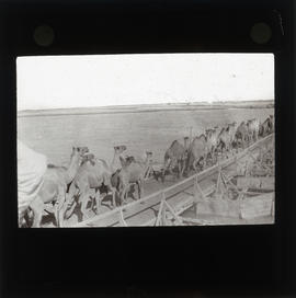 Photograph of camels crossing a bridge