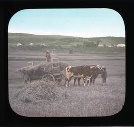 Photograph of cows and farmers
