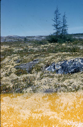 Photograph of plants on the tundra of Fort Chimo, Quebec
