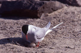 Photograph of an Arctic tern looking at two eggs at a nest site at Alexandra Fiord, Ellesmere Island