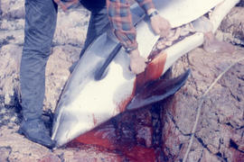 Photograph of a porpoise being gutted in Battle Harbour, Newfoundland and Labrador