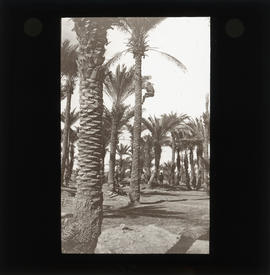 Photograph of an identified soldier climbing a palm tree