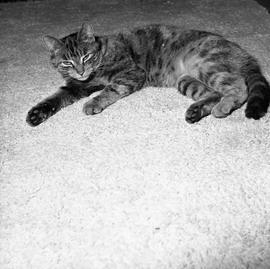 Photograph of a cat lying on a carpet