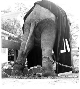 Photograph of Balakrishnan the elephant shackled on a truck