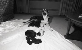 Photograph of a dog with puppies at Howe Hall