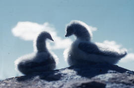 Photograph of two ducks made of fur