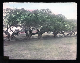 Photograph of willow trees planted by Acadian settlers near St-Charles-des-Mines church