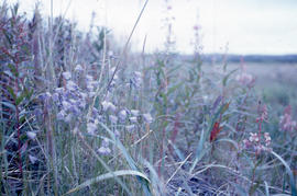 Photograph of wildflowers and grasses in northern Quebec