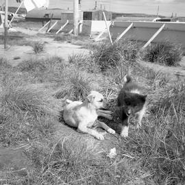 Photograph of two puppies outdoors in Northern Quebec