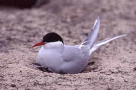 Photograph of a nesting Arctic tern at Alexandra Fiord, Ellesmere Island