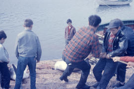 Photograph of several people hauling a porpoise ashore in Battle Harbour, Newfoundland and Labrador