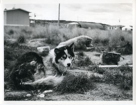 Photograph of huskies chained outside
