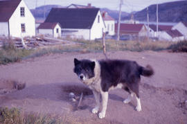 Photograph of a black and white dog in Nain, Newfoundland and Labrador