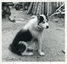Photograph of a dog with porcupine quills in its nose in Davis Inlet, Newfoundland and Labrador