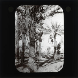 Photograph of a person climbing a palm tree