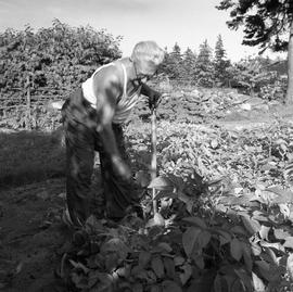 Photograph of Ernest Arthur Farrant working in his garden