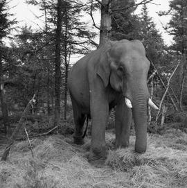 Photograph of Balakrishnan the elephant
