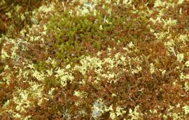 Photograph of vegetation on the tundra in Fort Chimo, Quebec