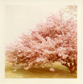 Photograph of the flowering Chinese crab apple tree on the grounds of the Governor Wentworth Hous...