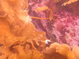 Photograph of kelp (Laminariales) underwater