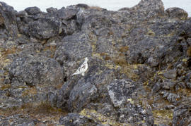 Photograph of a ptarmigan perched on rocks in the eastern Canadian Arctic