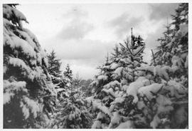 Photograph of evergreen trees and snow
