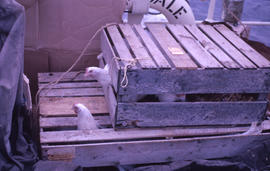 Photograph of chickens looking out of a crate on a ship in Newfoundland and Labrador