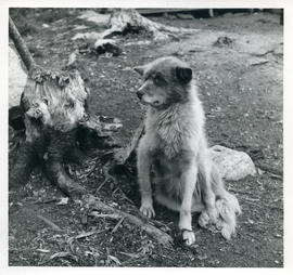 Photograph of a dog sitting by a tree stump in Davis Inlet, Newfoundland and Labrador