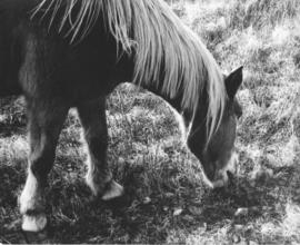 Photograph of a Sable Island horse