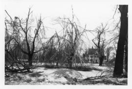 Photograph of trees down in the public square after an ice storm in Summerside Prince Edward Island