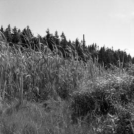 Photograph of tall grasses by a forest
