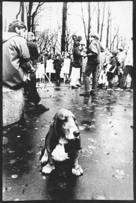 Photograph of Millie, the basset hound, looking out from a background of protesters during an ant...
