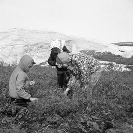Photograph of three children picking cloud berries in Fort Chimo, Quebec